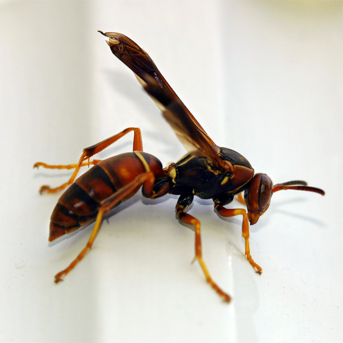 Bee Hornet and Wasp Stings